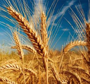 Sortiment ječma i pšenice