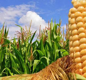 Sortiment kukuruza